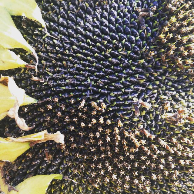 Sunflower harvesting rozendal guestfarm sunflowers organicgardening