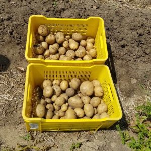 The first harvested potatoes on Rozendal Farm in crates