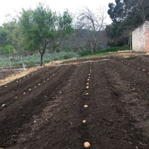 Planting potatoes in single rows in well prepared garden beds