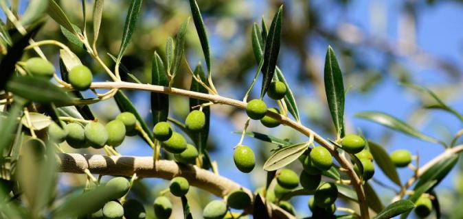 How we Pickle Kalamata Olives at Rozendal