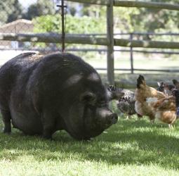 Truffles the pig